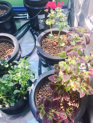 Example of Plants Growing in an Ebb & Flow System