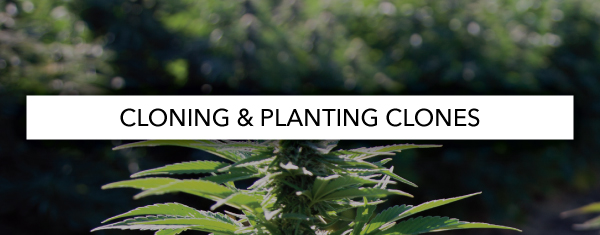 Cloning And Planting Clones